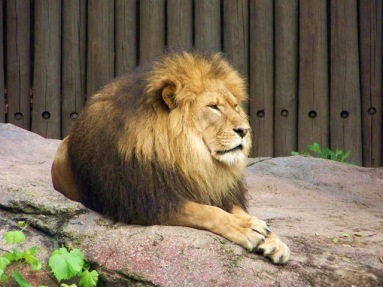 lion posing 090718 (5)